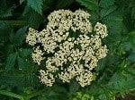 Burnet Saxifrage - Pimpinella_saxifraga