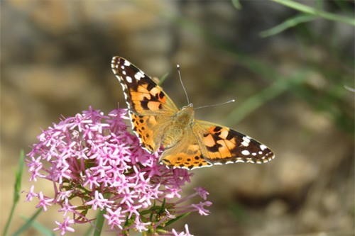 Painted-Lady 333